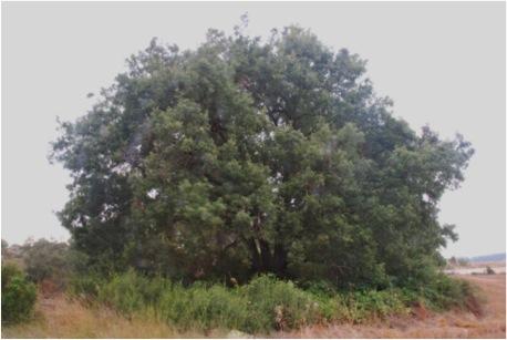 El Reboll del Pau, Quercus cerrioides. L'Espluga de Francolí. Arbres Singulars