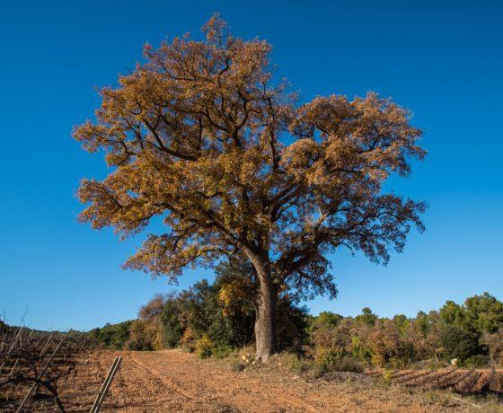 El Reboll de Vinganya (Vimbodi) Quercus faginea valentinae