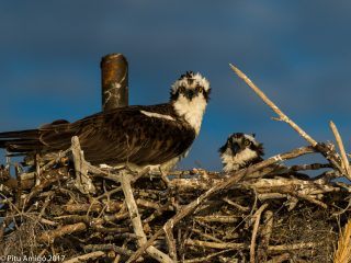 Aguila pescadora al niu amb un poll. Osprey with chick in nest. Everglades NP, Florida.
