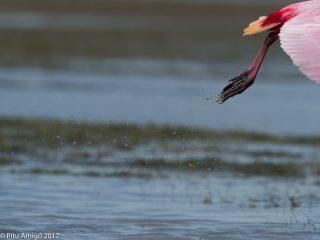 Aixecant el vol, Bec planer rosat, rose spoonbill. Everglades NP, Florida.