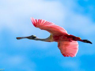 Bec planer rosat, rose spoonbill. Everglades NP, Florida.