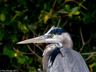 Bernat blau, great blue heron. Everglades NP, Florida.