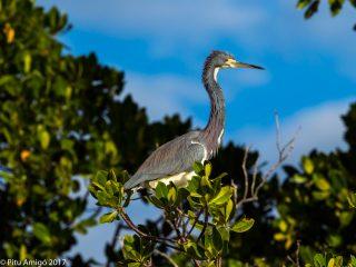 Bernat tricolor, tricolor heron. Everglades NP, Florida.