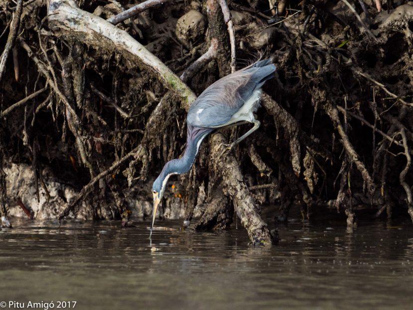 Bernat tricolor pescant, tricolor heron fishing. Everglades NP, Florida.