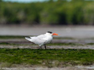 Caspian tern. Everglades NP, Florida.