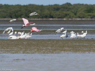 Grup d'ocells. Everglades NP, Florida.