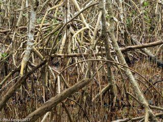 Les arrels són la clau del manglar. Everglades NP, Florida.