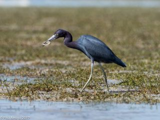 Martinet blau, little blue heron. Everglades NP, Florida.