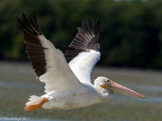 Pelicà blanc americà. White pelican. Everglades NP, Florida.