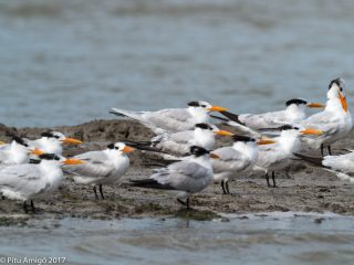 Royal tern group/grup. Everglades NP, Florida.
