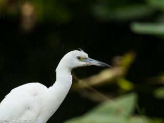 Martinet blanc americà, snowy egret in the rain. Everglades NP, Florida.