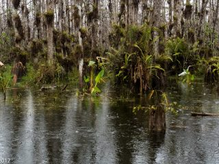 El bosc inundat. The flooded forest. Everglades NP, Florida