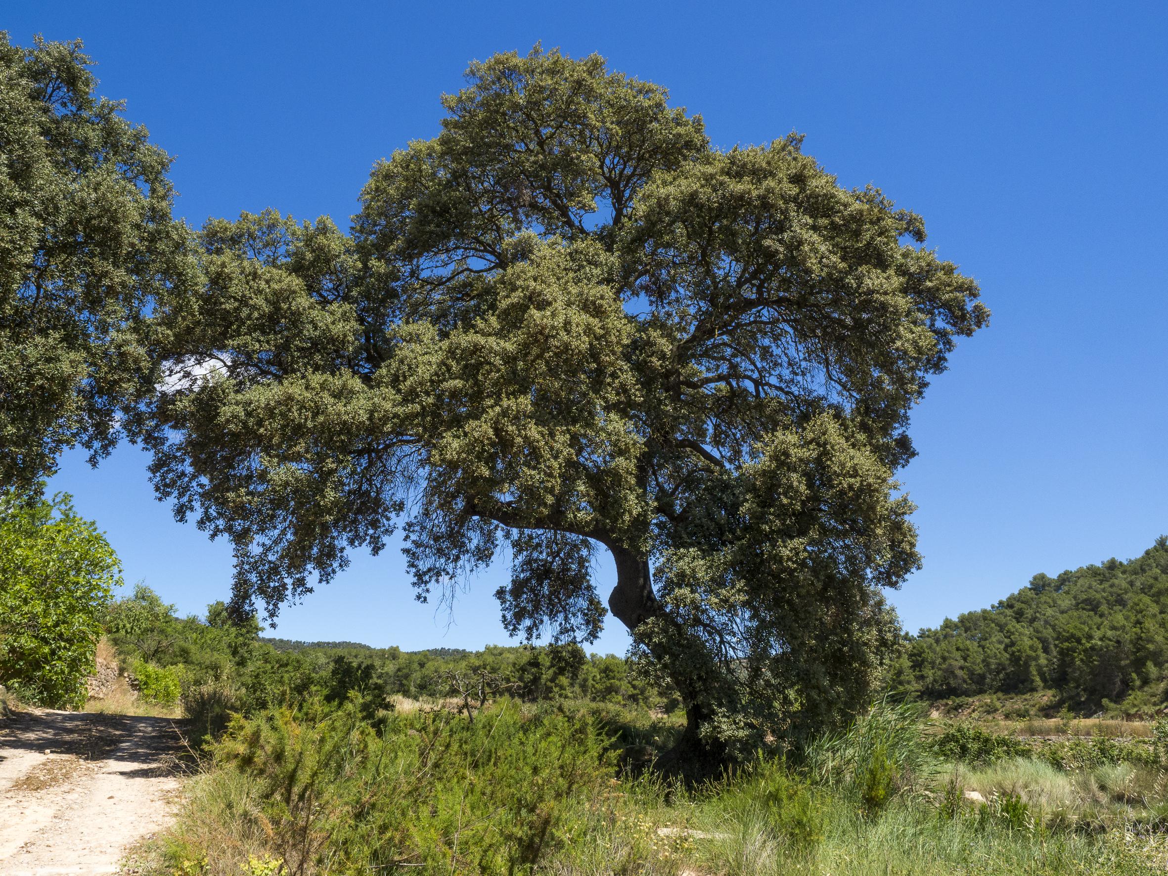 Alzina de la Costa del Pastoret, Quercus ilex, Blancafort, Conca de Barberà. Arbres Singulars de l'Alt Francolí
