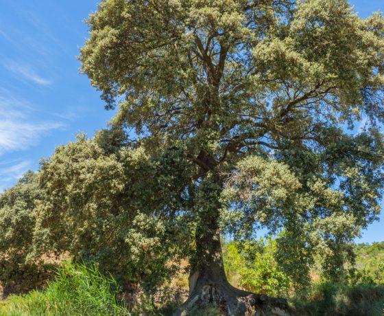 Alzina de la Costa del Pastoret, Quercus ilex, Blancafort, Conca de Barberà.