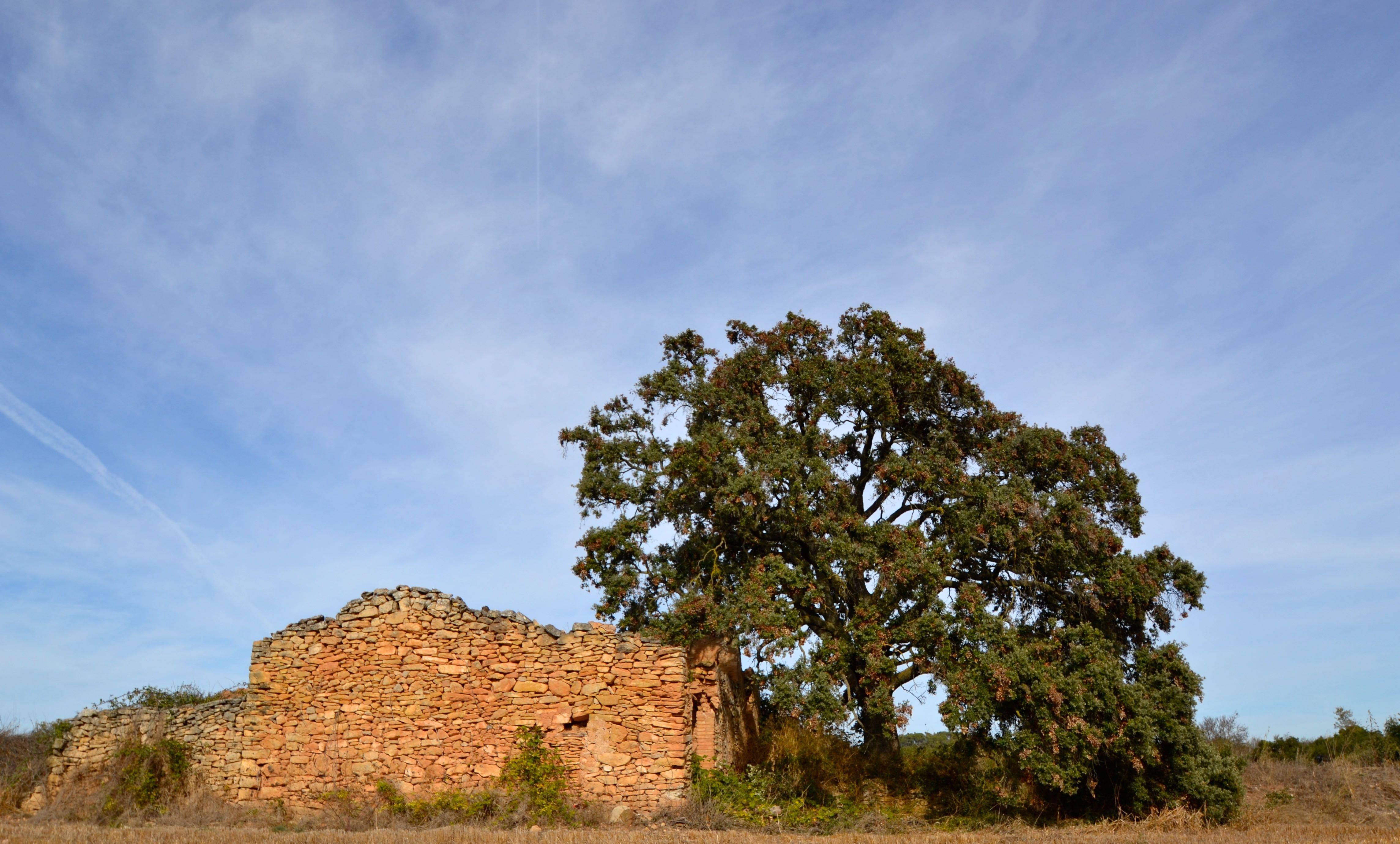 L'alzina de pla de Conill, Quercus ilex, l'Espluga de Francolí