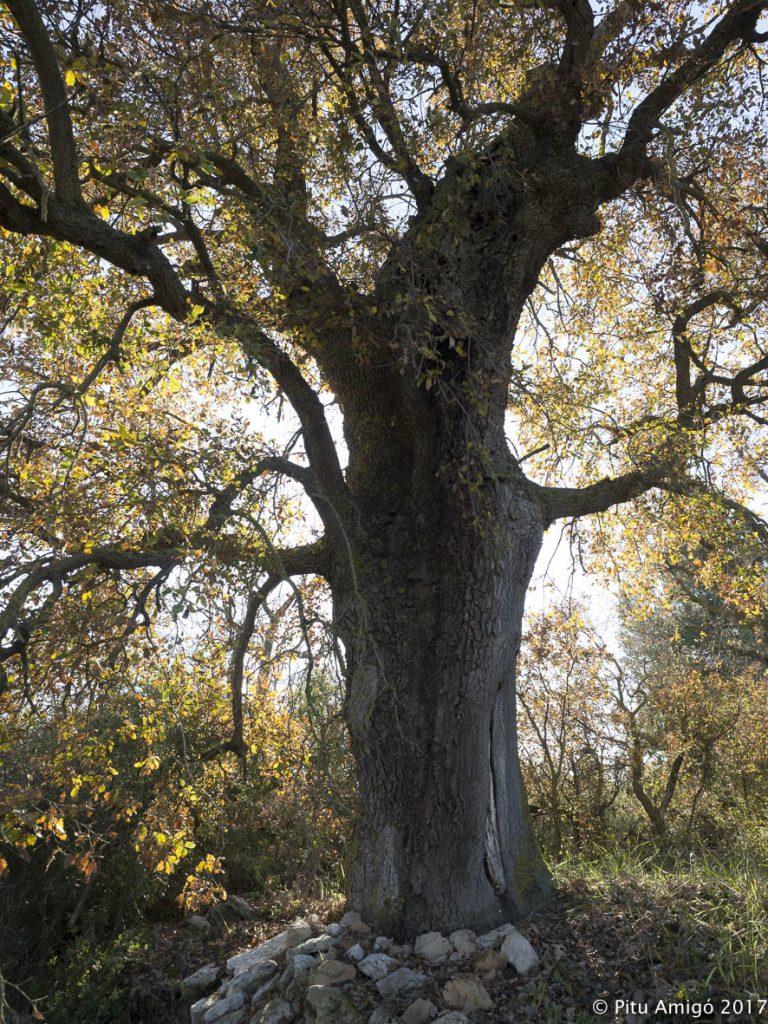 El reboll vell (Quercus faginea valentinae) del mas de Baltasar, l'Espluga de Francolí, Conca de Barberà. Arbres Singulars