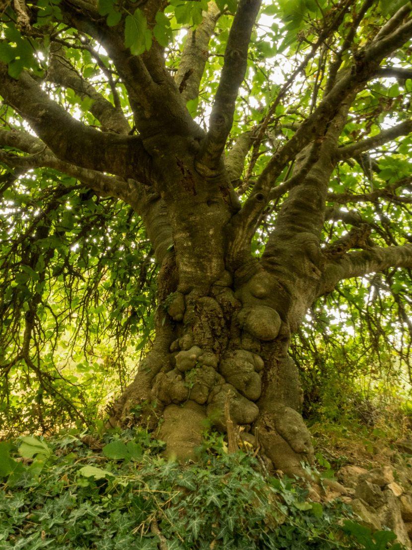 Figuera (Ficus carica) del Puig Coniller, l'ESpluga de Francolí