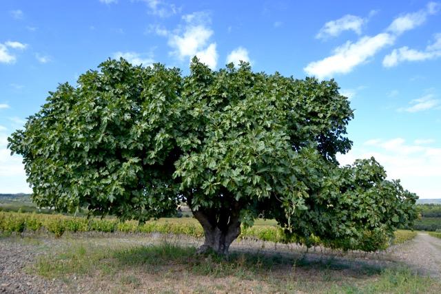 Figuera de les Muralles, Ficus carica, Poblet