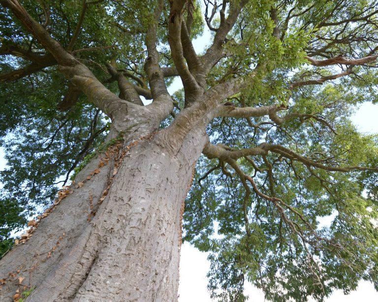 Lledoner de Poblet, Celtis australis, Vimbodí i Poblet