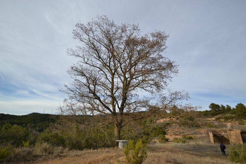 Reboll del coll del Gabriel, l'Espluga de Francolí, Quercus faginea valentinae.