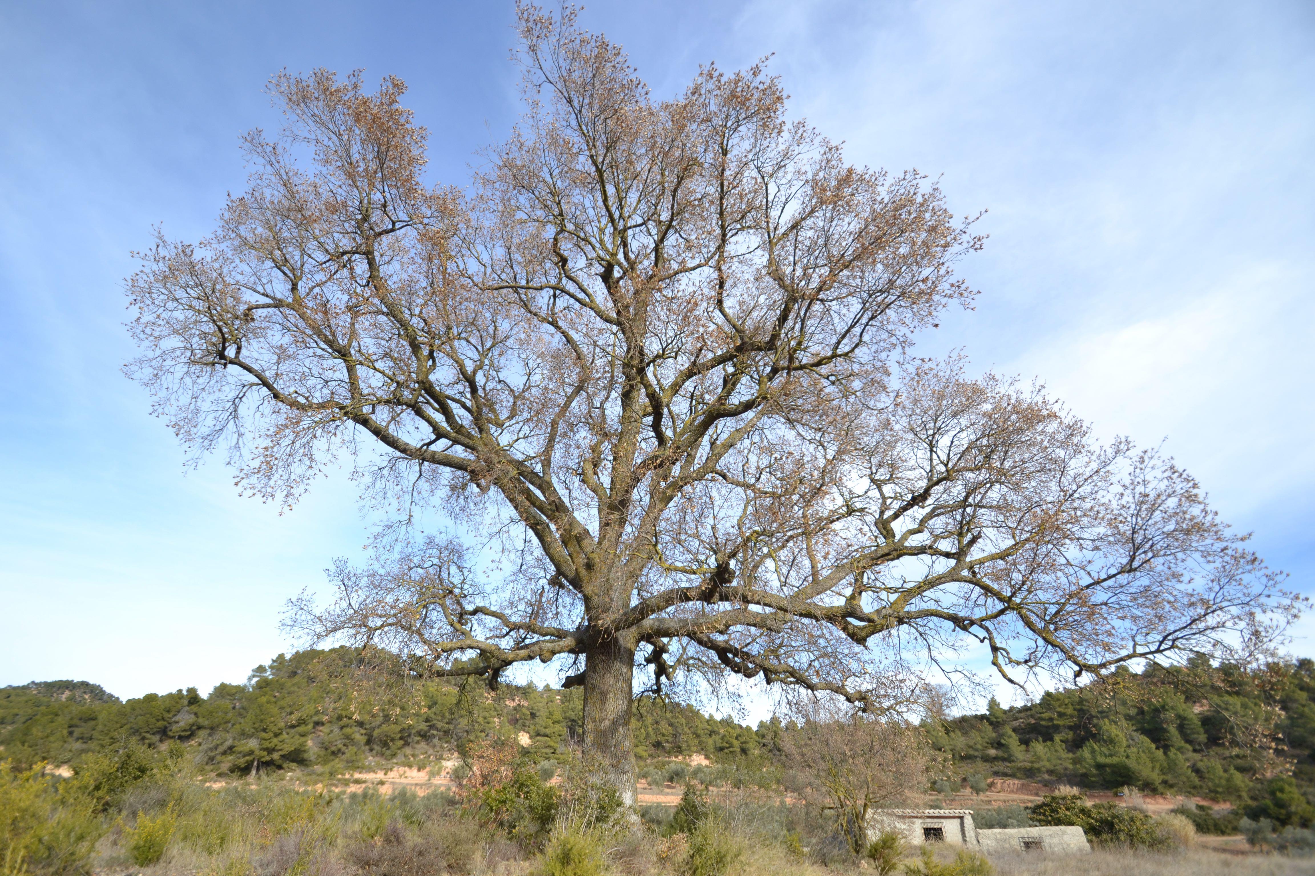Reboll del mas d'en Xoxo, Quercus faginea valentinae, l'Espluga de Francolí