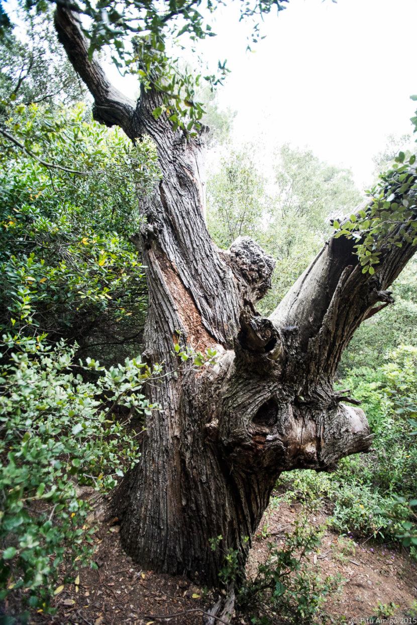 El castanyer mort de l'ermita. Castanea sativa. L'Espluga de Francolí. Arbres Singulars