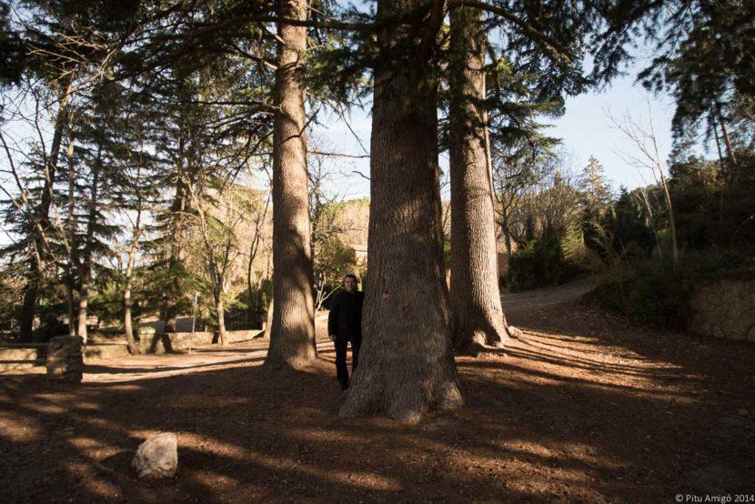 Els cedres de les Masies, Cedrus atlantica. Arbres Singulars. Amb Joan Casanoves.