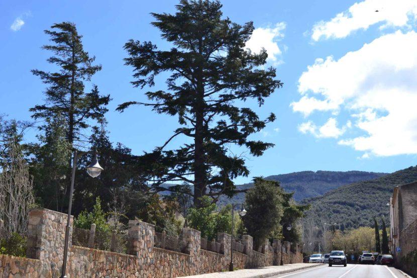 El Cedre dels Salesians, Cedrus atlantica. Poblet. Arbres Singulars.