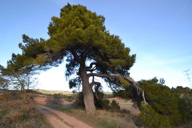 El Pi de les Fontanelles, Pinus halepensis. L'Espluga de Francolí. Arbres Singulars.