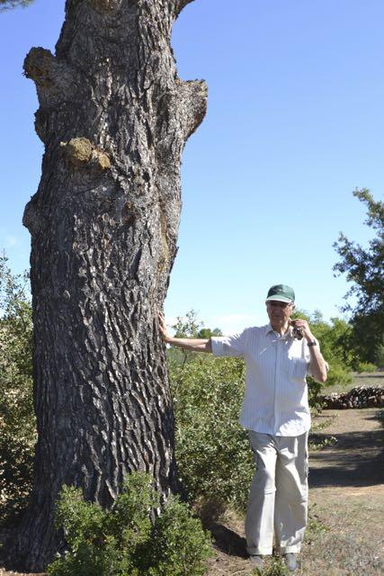 El Pi del Dolcet, Pinus halepensis. L'Espluga de Francolí. Arbres Singulars amb Esuebi Majós.