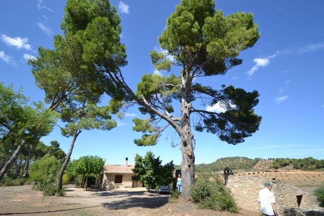 El Pi del Dolcet, Pinus halepensis. L'Espluga de Francolí. Arbres Singulars.