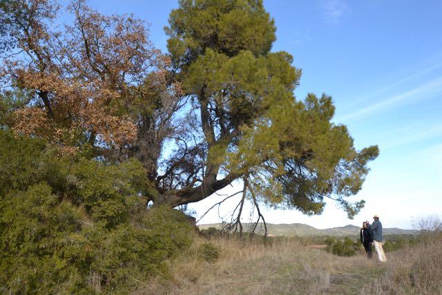 El Pi tort al camí del mas de Partisant. Pinus halepensis. L'Espluga de Francolí. Arbres Singulars.