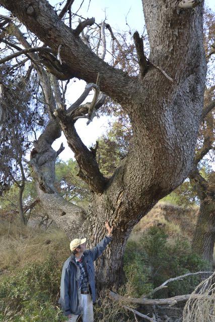 El Pi tort al camí del mas de Partisant. Pinus halepensis. L'Espluga de Francolí. Arbres Singulars amb Joan Andreu Camón.