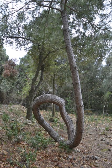 El pí del Foradat, Pinus halepensis. Vimbodí. Arbres Singulars.