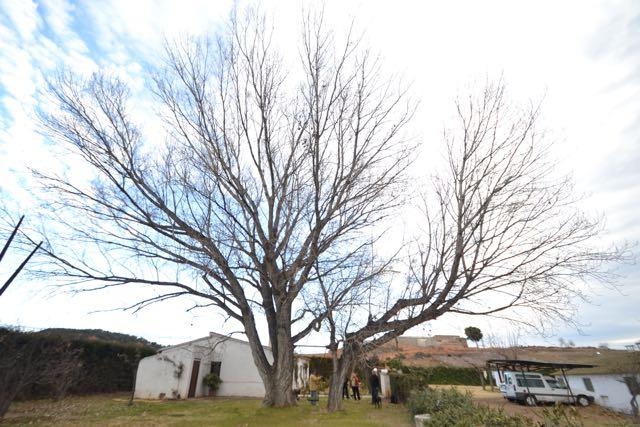 El xop de la Granja del Civit, Populus x canadensis. L'Espluga de Francolí. Natura Singular.