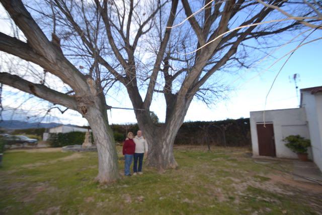 El xop de la Granja del Civit, Populus x canadensis. L'Espluga de Francolí. Natura Singular amb Sagrari Melero i Josep Maria Civit.