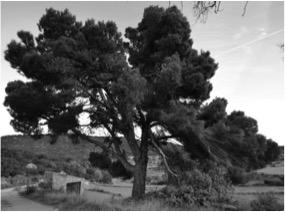 El Pi del Coll Vell, Pinus halepensis. L'Espluga de Francolí. Arbres Singulars.