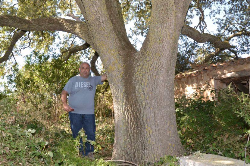 El reboll de les dues barraques, Quercus faginea valentinae. L'Espluga de Francolí. Arbres Singulars amb David Altarriba.