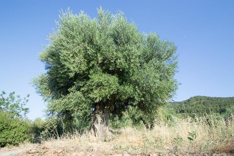 L'oliver vell del Peu del Bosc, Olea europaea. L'Espluga de Francolí. Arbres Singulars.