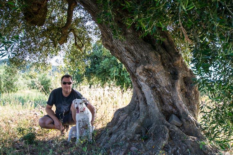 L'oliver vell del Peu del Bosc, Olea europaea. L'Espluga de Francolí. Arbres Singulars amb Albert Amigó.