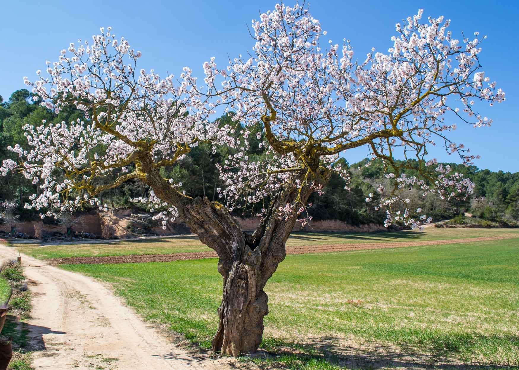 L'atmetller de l'Andreu, Prunus dulcis. L'Espluga de Francolí. Arbres Singulars.