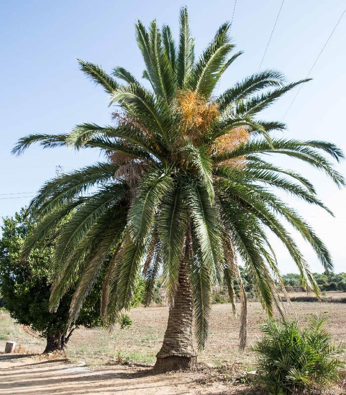 La palmera de cal Morgades, Phoenix canariensis, l'Espluga de Francolí. Arbres Singulars