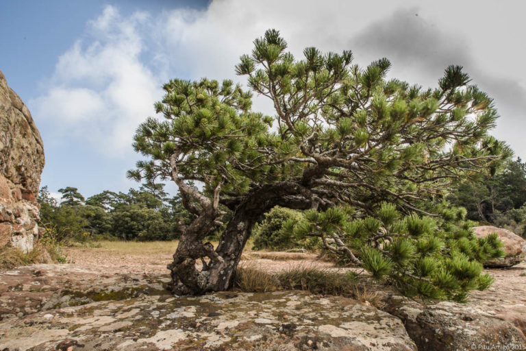 Pi de les tres creus, Pinus sylvestris
