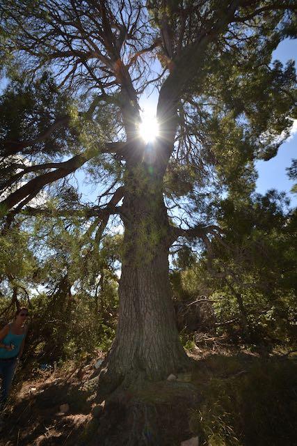 El pí gros del Serrano, Pinus halepensis. L'Espluga de Francolí. Arbres Singulars.