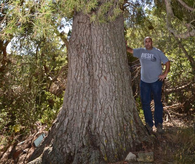 El pí gros del Serrano, Pinus halepensis. L'Espluga de Francolí. Arbres Singulars amb David Altarriba.