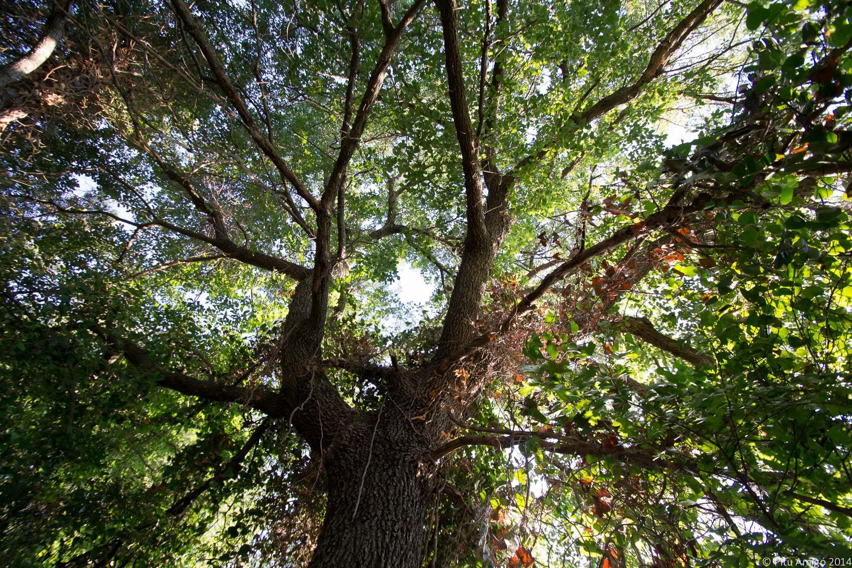 El reboll del Peu del Bosc, Quercus cerrioides. L'Espluga de Francolí. Arbres Singulars.
