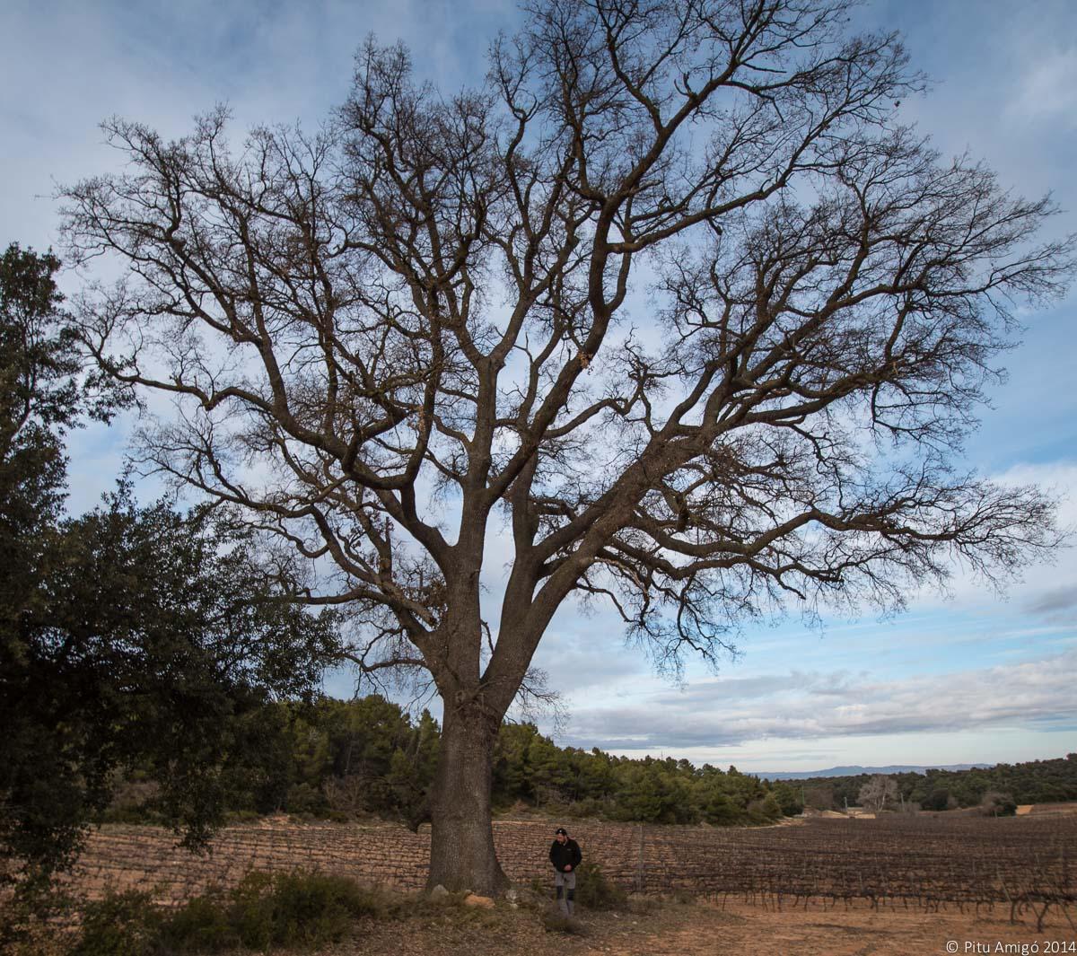 EL reboll de Vinganya, Vimbodí, Quercus faginea valentinae, Arbres Singulars