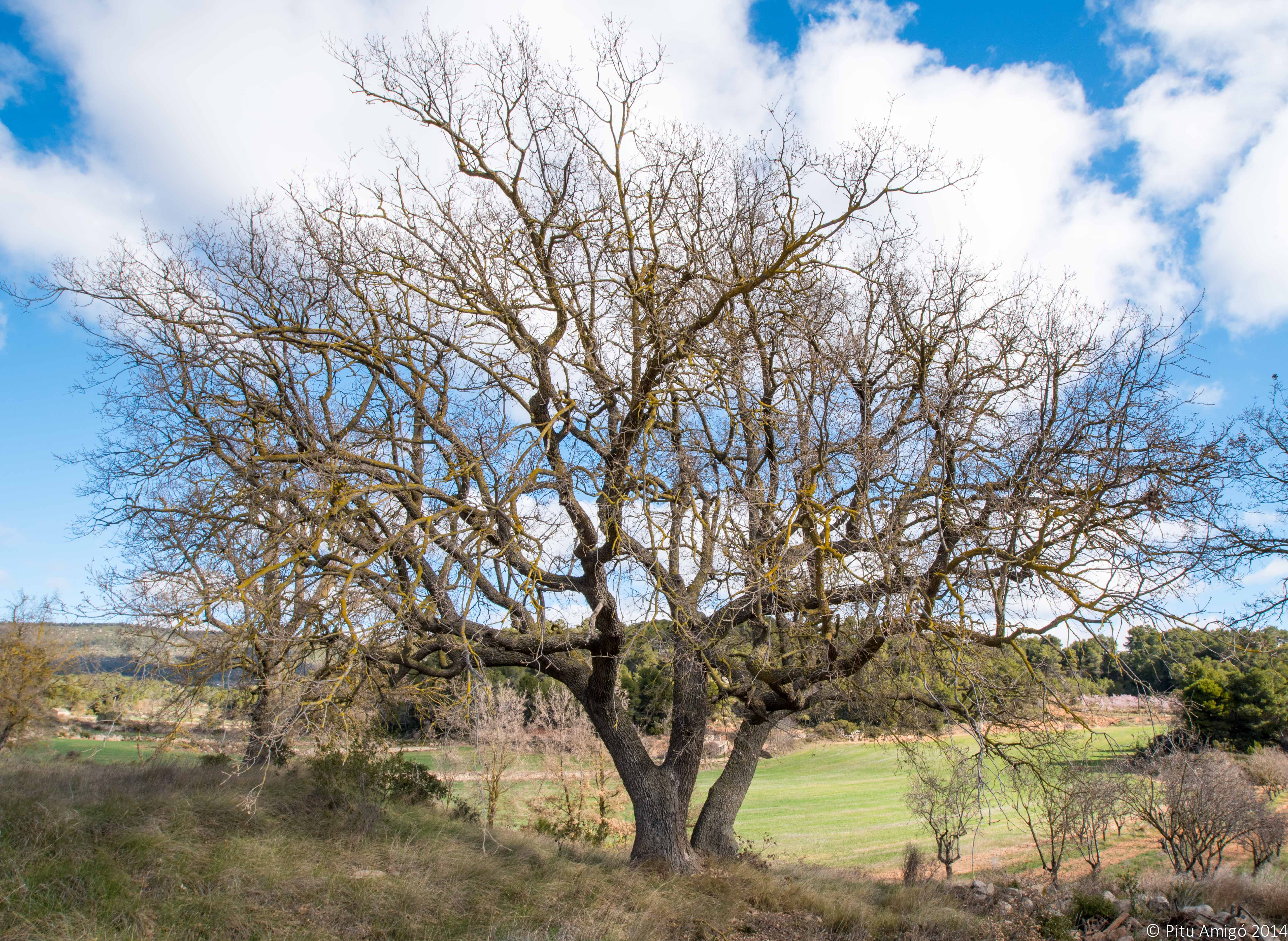 Rebolls del mas dels Frares, Quercus faginea valentianea, l'Espluga de Francolí. Arbres singulars