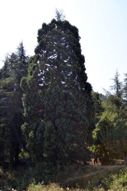 La sequia de la Pena, Sequiodendron giganteum. L'Espluga de Francolí, PNIN Poblet. Arbres Singulars.