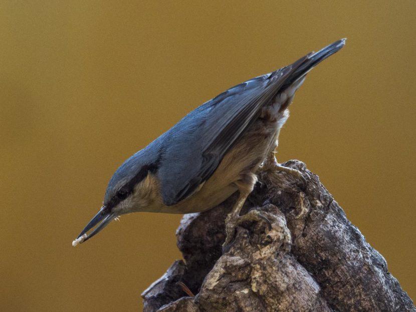 Pica-soques blau, Sitta europaea. Natura Singular. Fauna de la Conca.
